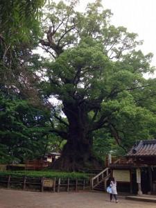 大楠の全体像